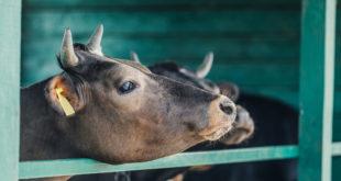 vacche allevamento benessere animale Depositphotos_162345276_S